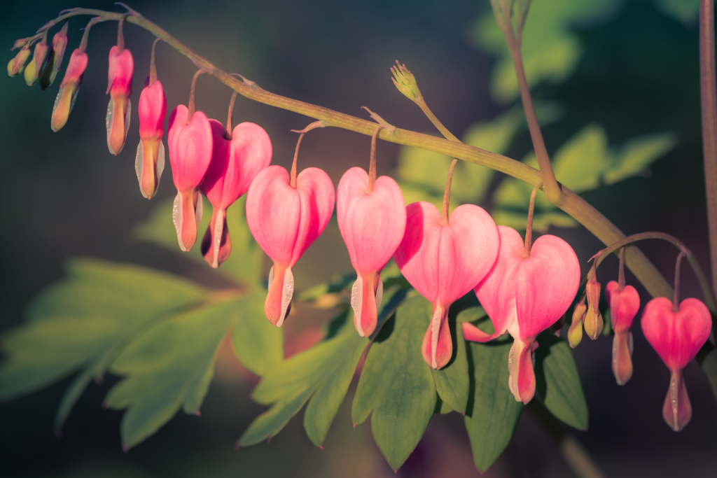 100mm macro photo of a multiple bleeding heart flowers hanging from its stem.