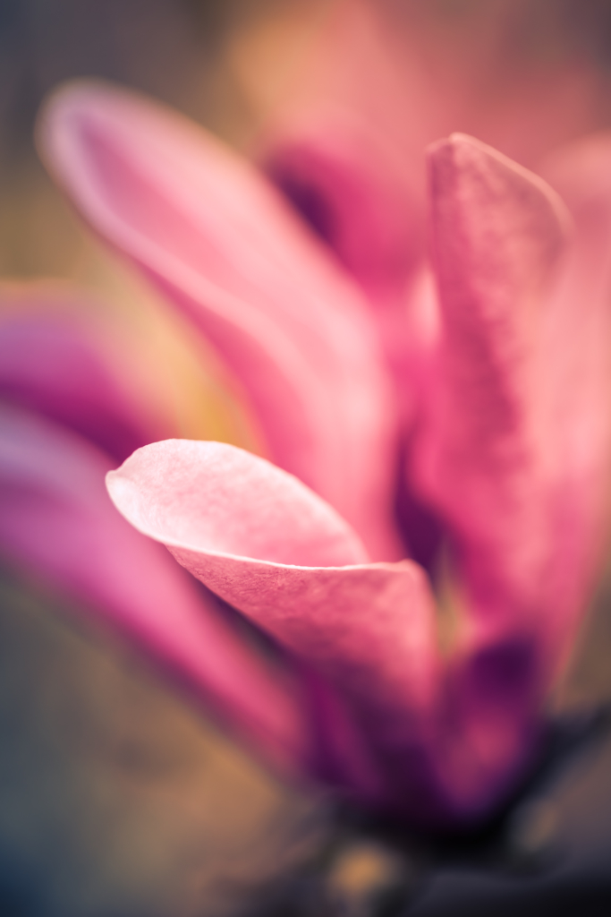 Macro photo of a Jane Magnolia blossom with soft focus and bokeh.