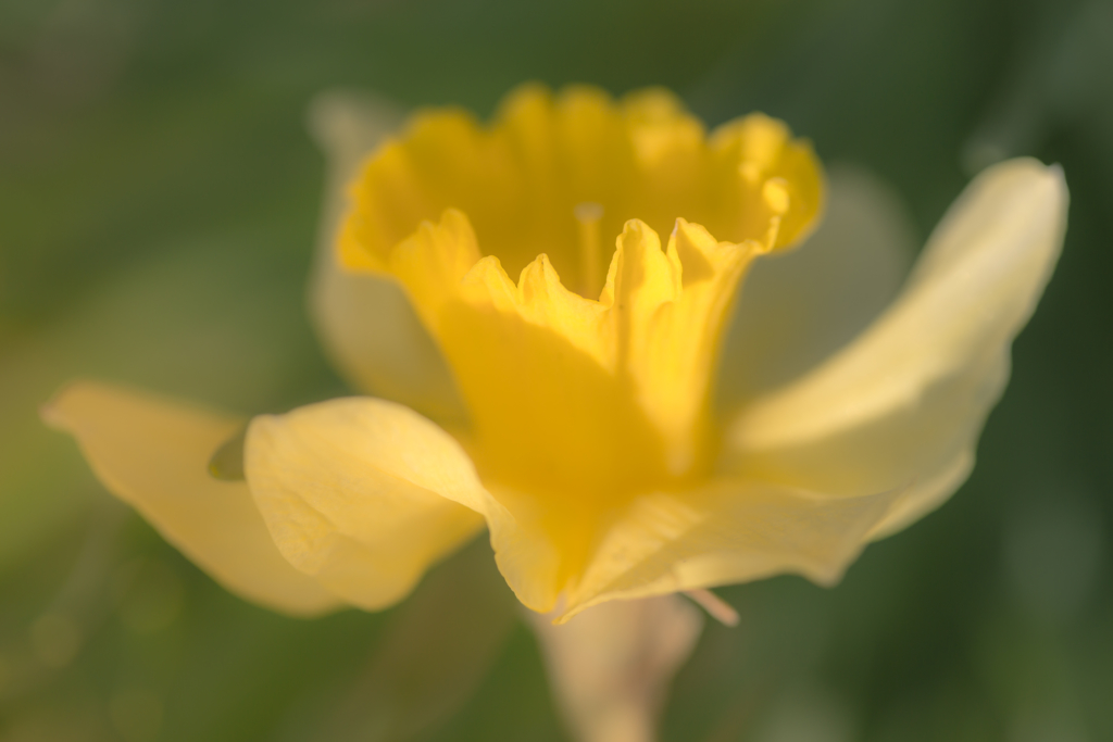 Yellow daffodil macro photo with soft focus and bokeh.