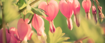 100mm macro photo of bleeding heart plant with nine heart shaped flowers bent upon its stem.
