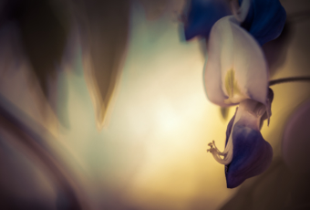 100mm macro photo of a low key, cross processed wisteria blossom; has a painted look.