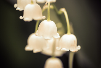 100mm low key macro photo of a string of lily of the valley flowers with smooth bokeh.