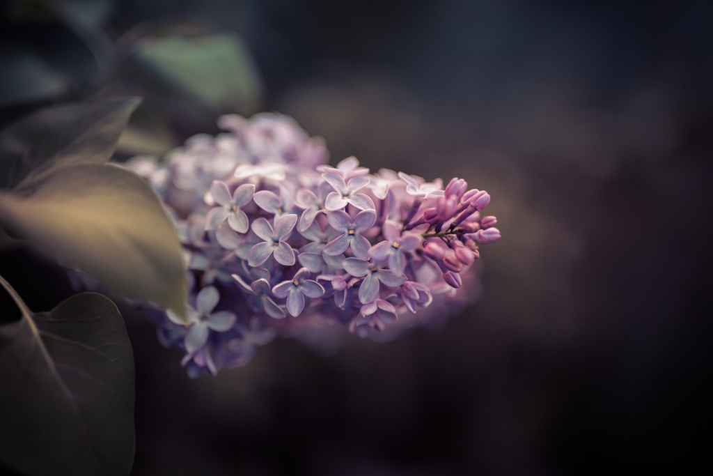 35mm low key photo of lilac blossom with its leaves, white space, and bokeh.