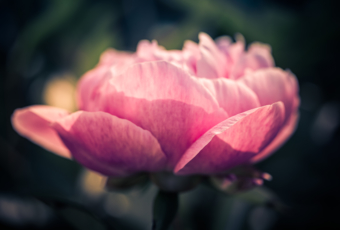 100mm low key macro photo of a layered peony flower blossom.