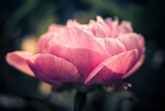 100mm low key macro photo of a layered peony flower blossom.