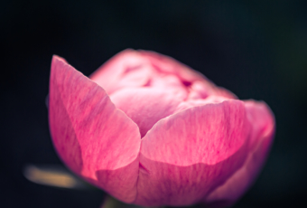 35mm low key photo of a peony blossom, bokeh, and whitespace.