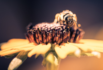 100mm square format macro photo of a honey bee pollenating a black-eyed susan flower blossom.