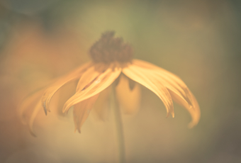 100mm macro photo of a Black-eyed Susan flower; the lens is cloudy creating a fog effect along with soft-focus and bokeh.