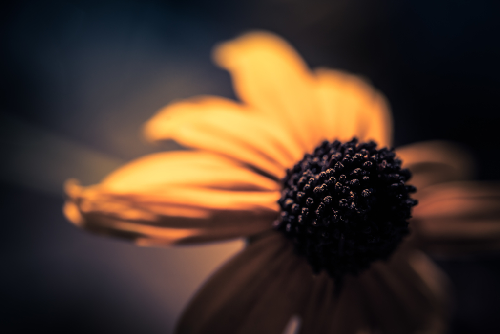 100mm low key macro photo of a black-eyed susan flower with shallow depth of field and bokeh.