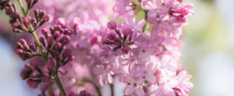 35mm wide open square format photo of a blooming lilac in high key light surrounded by bokeh.