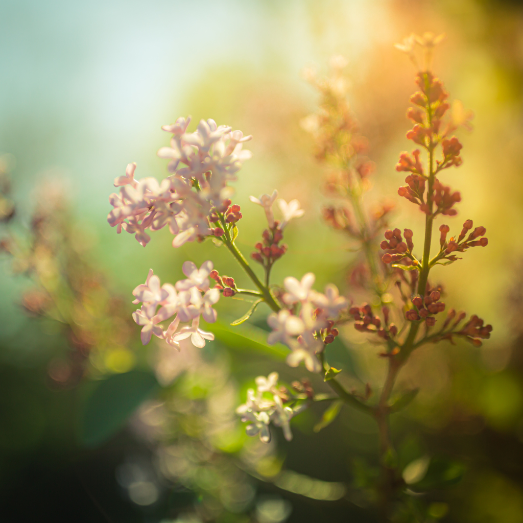 35mm square format photo of a lilac blossom. Shot wide open at f/1.4, it features soft focus and smooth bokeh, cross processed to a green hue.