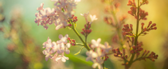 35mm photo of a lilac blossom. Shot wide open at f/1.4, it features soft focus and smooth bokeh, cross processed to a green hue.