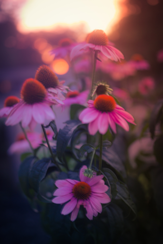 35mm out of focus photograph of a bunch of purple coneflowers backlight by a striking sunset and smooth bokeh. The echinacea blossoms are set glowing in powerful pastel pink and purple tones.
