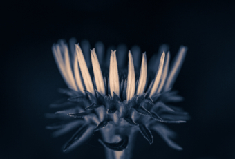100mm macro photograph of one purple coneflower with its blossom forming a crown. Processed in a low key blue hued monochrome.