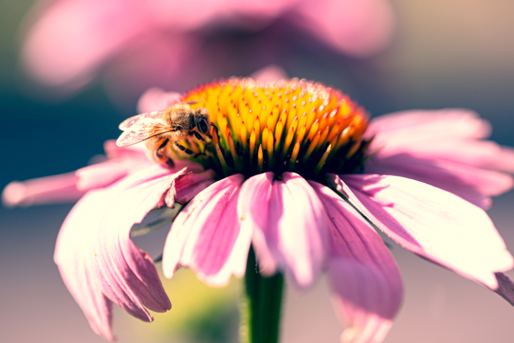 100mm high key macro photograph of a honey bee feeding and pollinating a purple coneflower blossom.