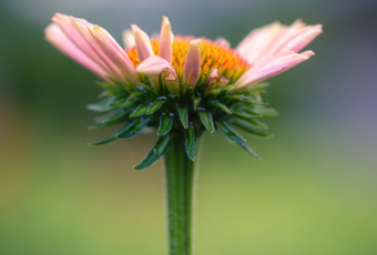 100mm portrait orientation macro photograph of single a purple coneflower blossoming. Soft bokeh smooths the background with pastel and green colors.
