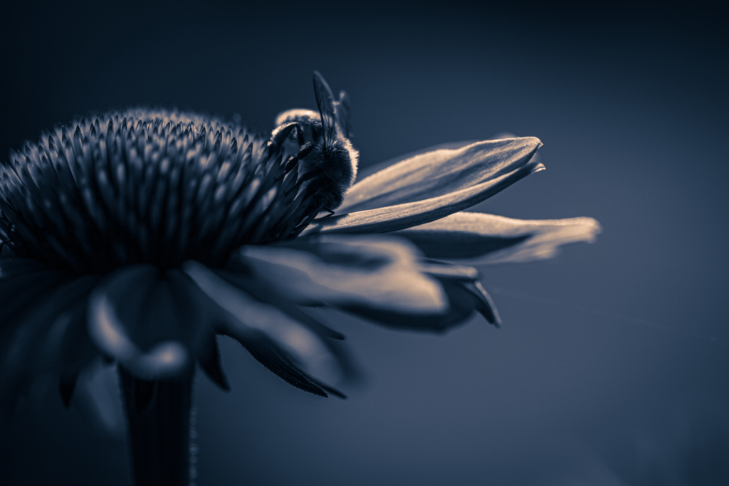 100mm low key macro photo of a single honey bee pollinating purple coneflower pistils. A strong single light source creates stark contrast of highlights and shadows. A deep blue monochrome treatment drives a dark, serious mood.