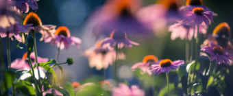 85mm photo of several purple coneflowers spread in full bloom. Smooth bokeh and shallow depth of field move the eye in and out of the picture.