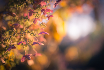 35mm photo of a quick fire hydrangea bathed in rich golden light. The autumn pinks, yellows, and oranges of the flowering bush explode in a panoply of autumn color backdropped by smooth bokeh.