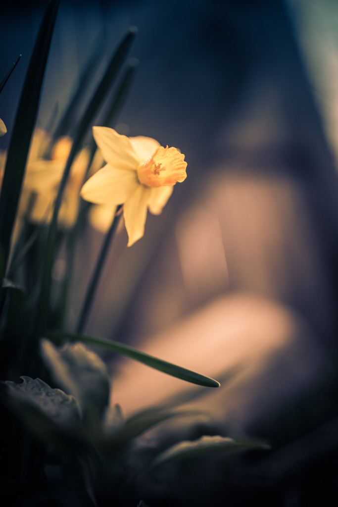 Moody 35mm photo of a yellow daffodil blossom shot wide open with a bokeh rich shallow depth of field.