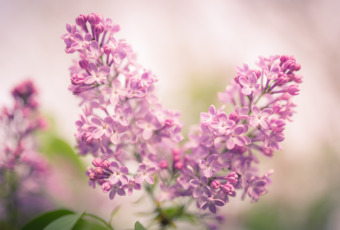 35mm dreamy photograph of pink lilacs fresh bloomed and glowing in silky smooth bokeh.