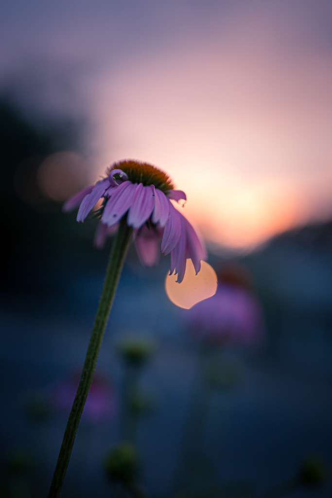 35mm low key photograph of a tall and withering purple coneflower silhouetted and brooding at sunset.