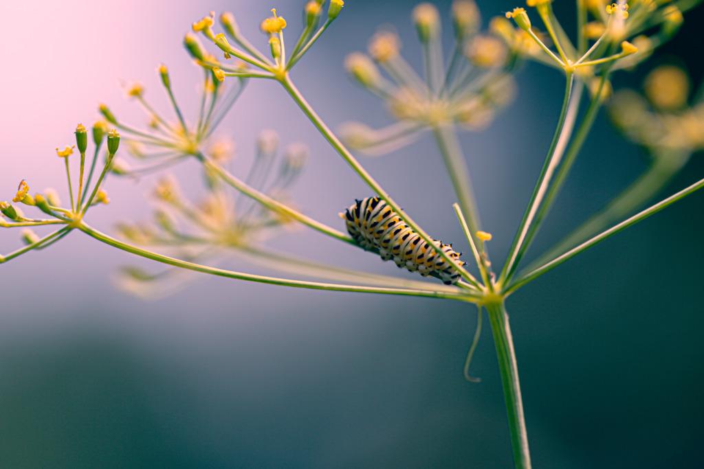 100mm macro photograph of a black swallowtail caterpillar set atop dill.